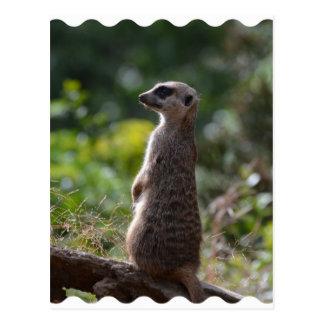 Wild Meerkat Postcard
