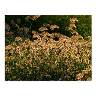 Wild Millet (Panicum Sp.) Growing In Wetland Postcard