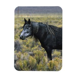 Wild Mustang Horse in the Desert Magnet