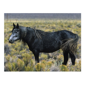 Wild Mustang Horse in the Desert Postcard