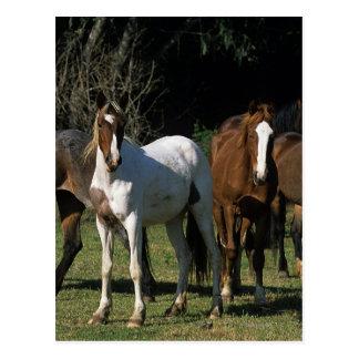 Wild Mustang Horses 1 Postcard