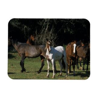 Wild Mustang Horses 1 Rectangular Photo Magnet