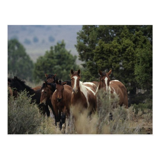 Wild Mustang Horses 2 Postcard