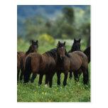 Wild Mustang Horses 3 Post Card