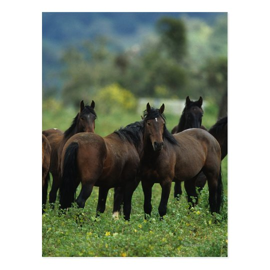 Wild Mustang Horses 3 Postcard