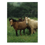 Wild Mustang Horses 4 Postcard