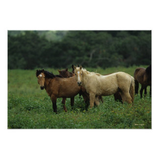 Wild Mustang Horses 4 Poster