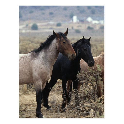 Wild Mustang Horses 5 Post Card