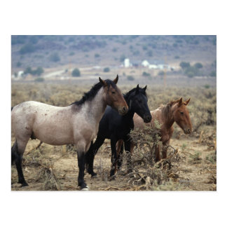 Wild Mustang Horses 5 Postcard