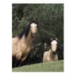 Wild Mustang Horses 6 Post Card