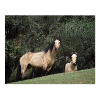Wild Mustang Horses 6 Postcard