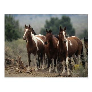 Wild Mustang Horses 7 Postcard