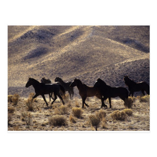 Wild Mustang Horses in the Desert 1 Postcard