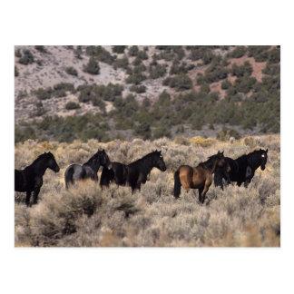 Wild Mustang Horses in the Desert 2 Postcard