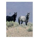 Wild Mustang Horses in the Desert 3 Post Card
