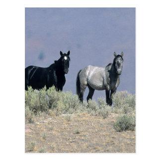 Wild Mustang Horses in the Desert 3 Postcard
