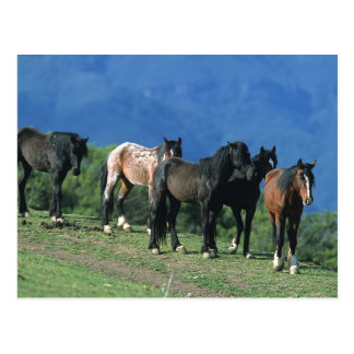 Wild Mustang Horses in the Mountains Postcard