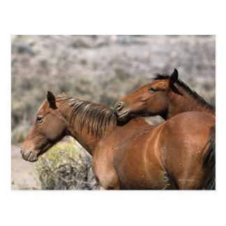 Wild Mustang Horses Touching Postcard
