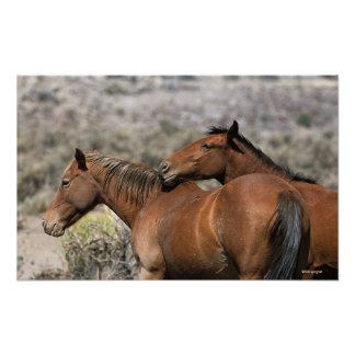 Wild Mustang Horses Touching Poster