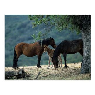 Wild Mustang Mare & Foal Postcard