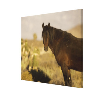 Wild Mustang stallion Wheeler Peak herd Cold Stretched Canvas Print