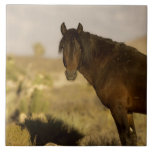 Wild Mustang stallion, Wheeler Peak herd, Cold Large Square Tile