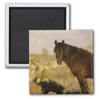 Wild Mustang stallion, Wheeler Peak herd, Cold Magnet