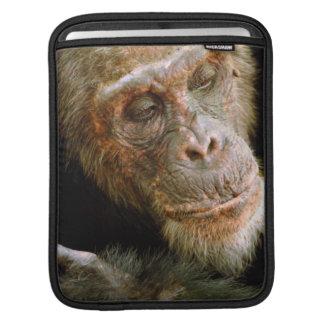 Wild Old Male Chimpanzee (Pan Troglodytes) iPad Sleeves