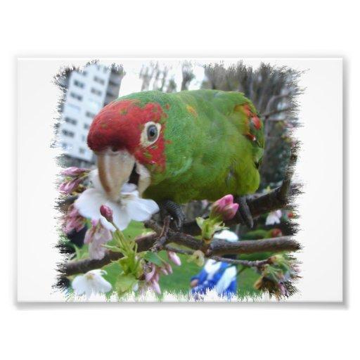 Wild Parrot #5 Photo