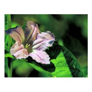 Wild Petunia Postcard