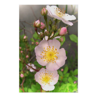 Wild Pink Rose Flowers Posters