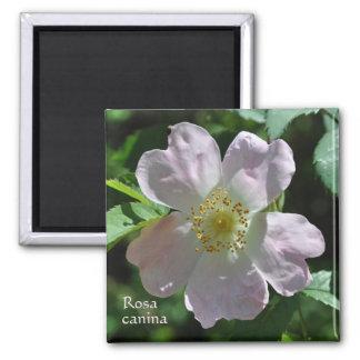 Wild pink rose magnet