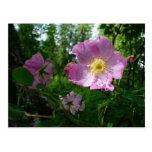 Wild Pink Roses in Alaska Nature Photography Postcard