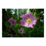 Wild Pink Roses in Alaska Nature Photography Poster
