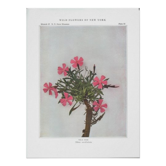 Wild Pink - Silene caroliniana Poster