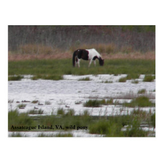 Wild Pony of Assateague Island, VA Postcard