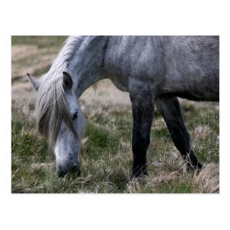 Wild pony on Dartmoor, Devon Postcard