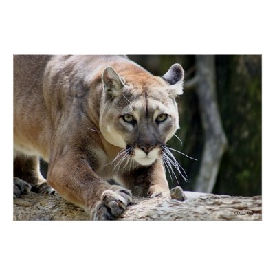 Wild Puma Posters