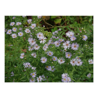 Wild Purple Asters Poster
