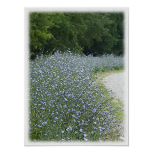Wild Purple Chickory Flower Landscape Picture Poster