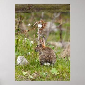 Wild Rabbit at Druridge Bay Northumberland Poster