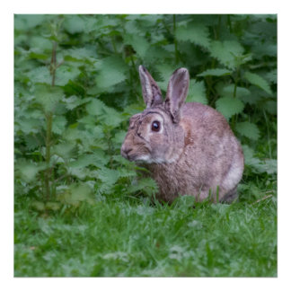 wild rabbit bunny photograph poster