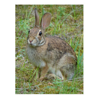 Wild Rabbit Eastern Cottontail Apparel and Gifts Post Cards