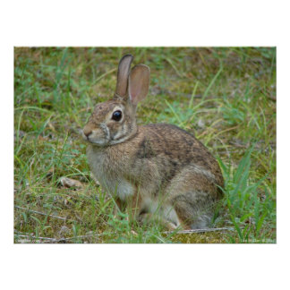 Wild Rabbit Eastern Cottontail II Poster