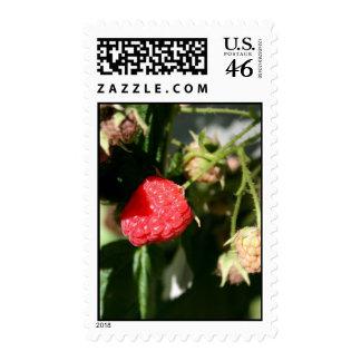 Wild Raspberry Stamp