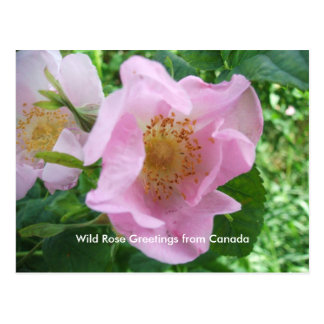 Wild Rose Greetings from Canada postcard
