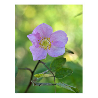 Wild rose in Kanuti National Wildlife Refuge Postcard