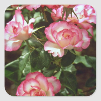 Wild roses  flowers square sticker