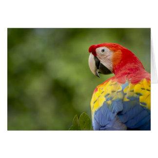 Wild scarlet macaw, rainforest, Costa Rica Greeting Card