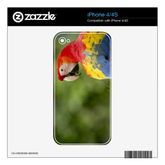 Wild scarlet macaw, rainforest, Costa Rica iPhone 4S Decal